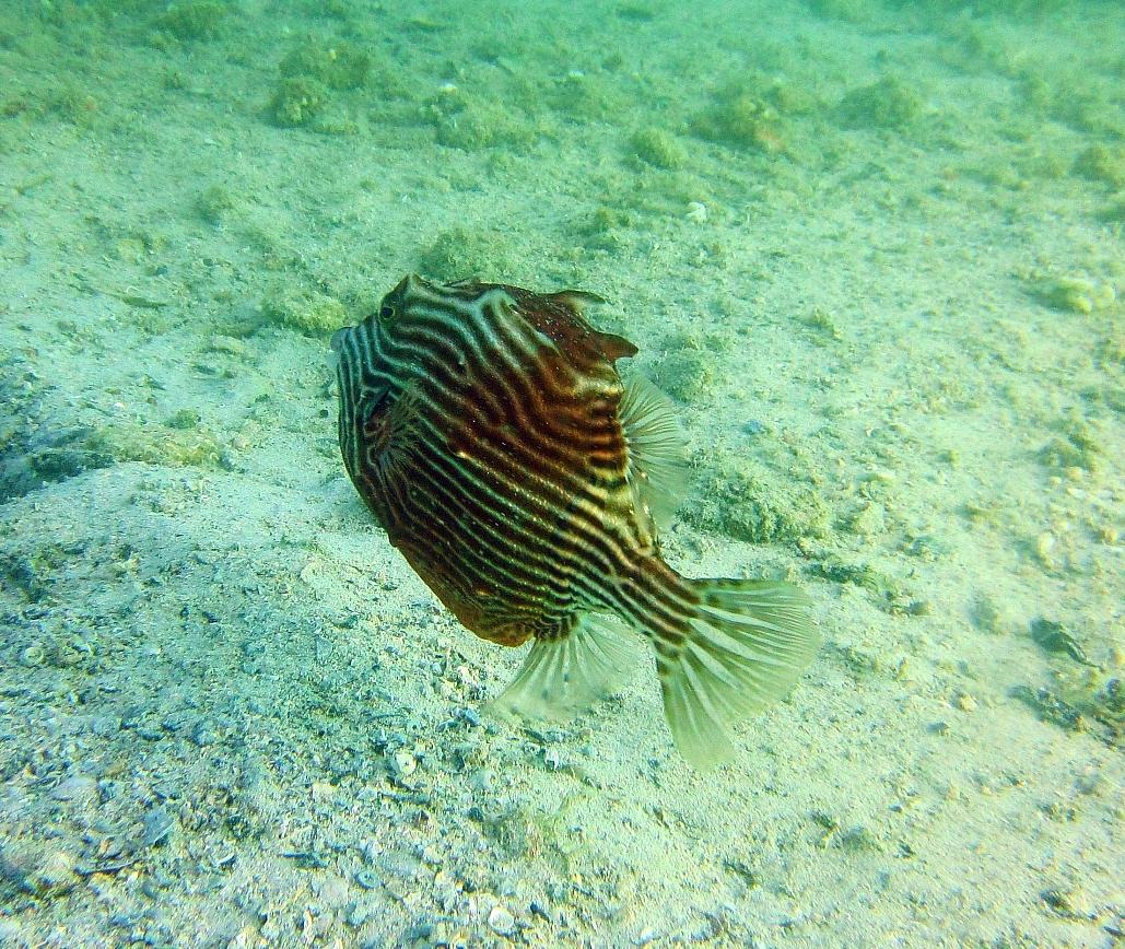 Sunday Dive: 24-03-2013 - Kwinana - Orient Ray Kwinana%20Grain%20Jetty%2024-03-2013%20fish%202