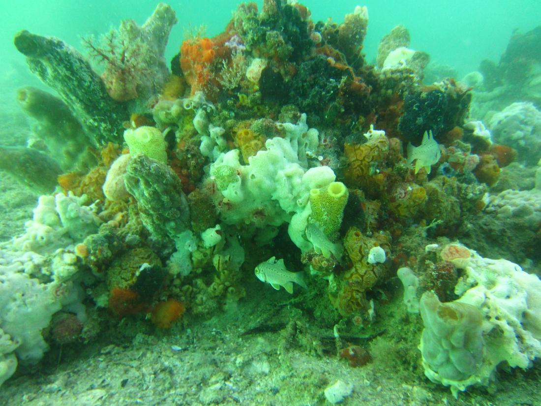 Sunday Dive: 24-03-2013 - Kwinana - Orient Ray Kwinana%20Grain%20Jetty%2024-03-2013%20sponge%20garden%201
