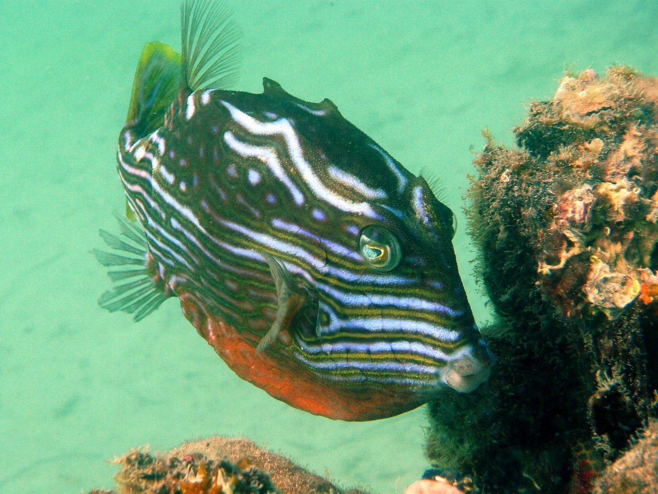 Some dive pics from a site at day and then night - Seiko SBDX001 Robb%27s%20Jetty%2001-06-2013%20cow%20fish%201