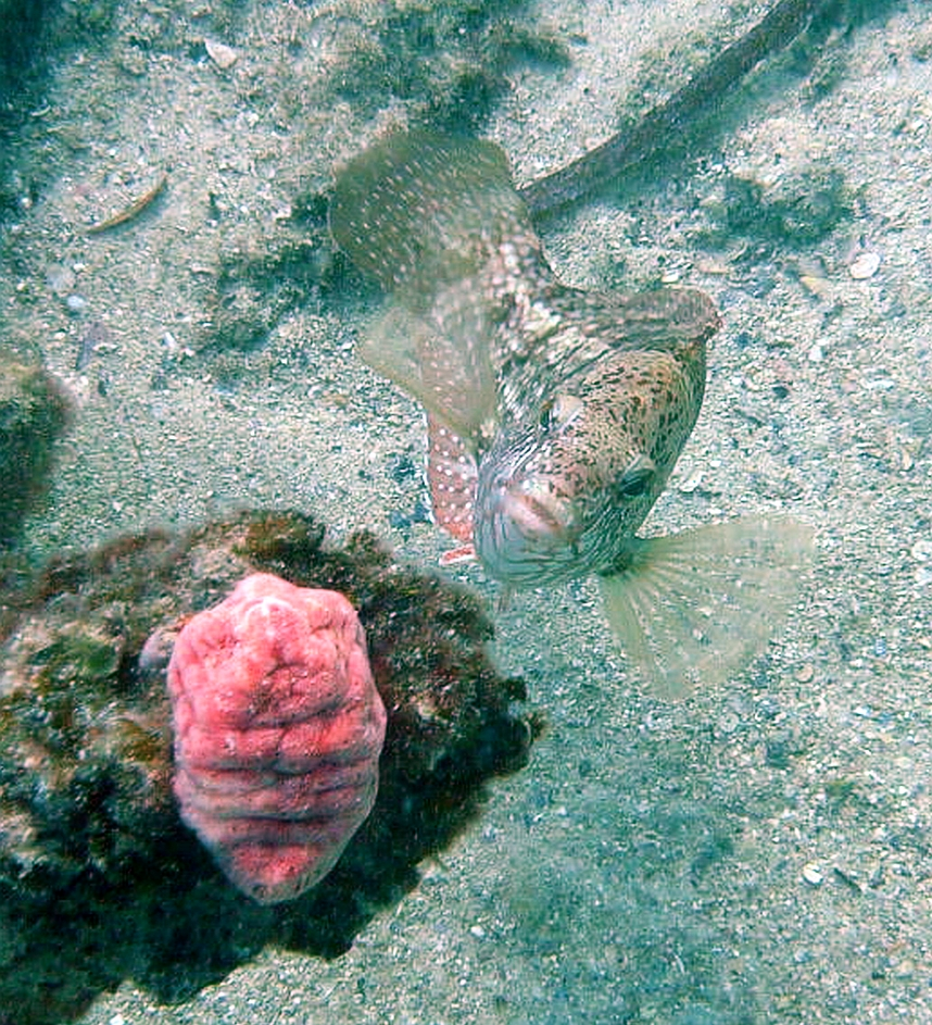 Some dive pics from a site at day and then night - Seiko SBDX001 Robb%27s%20Jetty%2001-06-2013%20fish%206