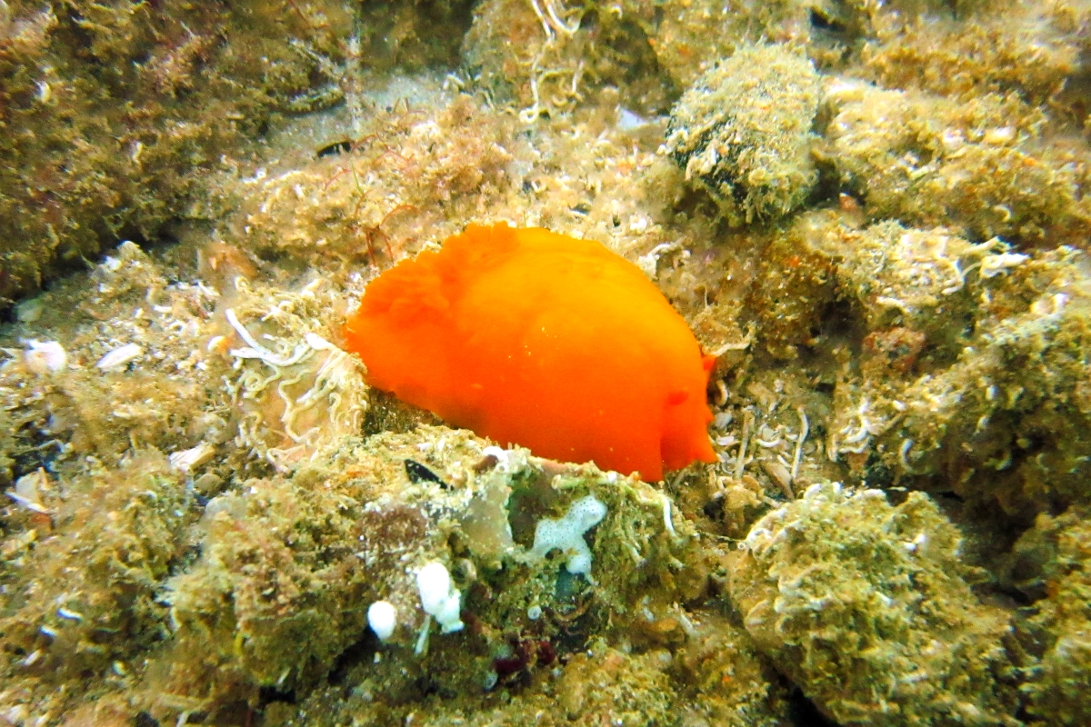Sunday Dive: 21-04-2013 Rockingham - Orient Mako Rockingham%20grain%20teminal%2021-04-2013%20nudibranch%204