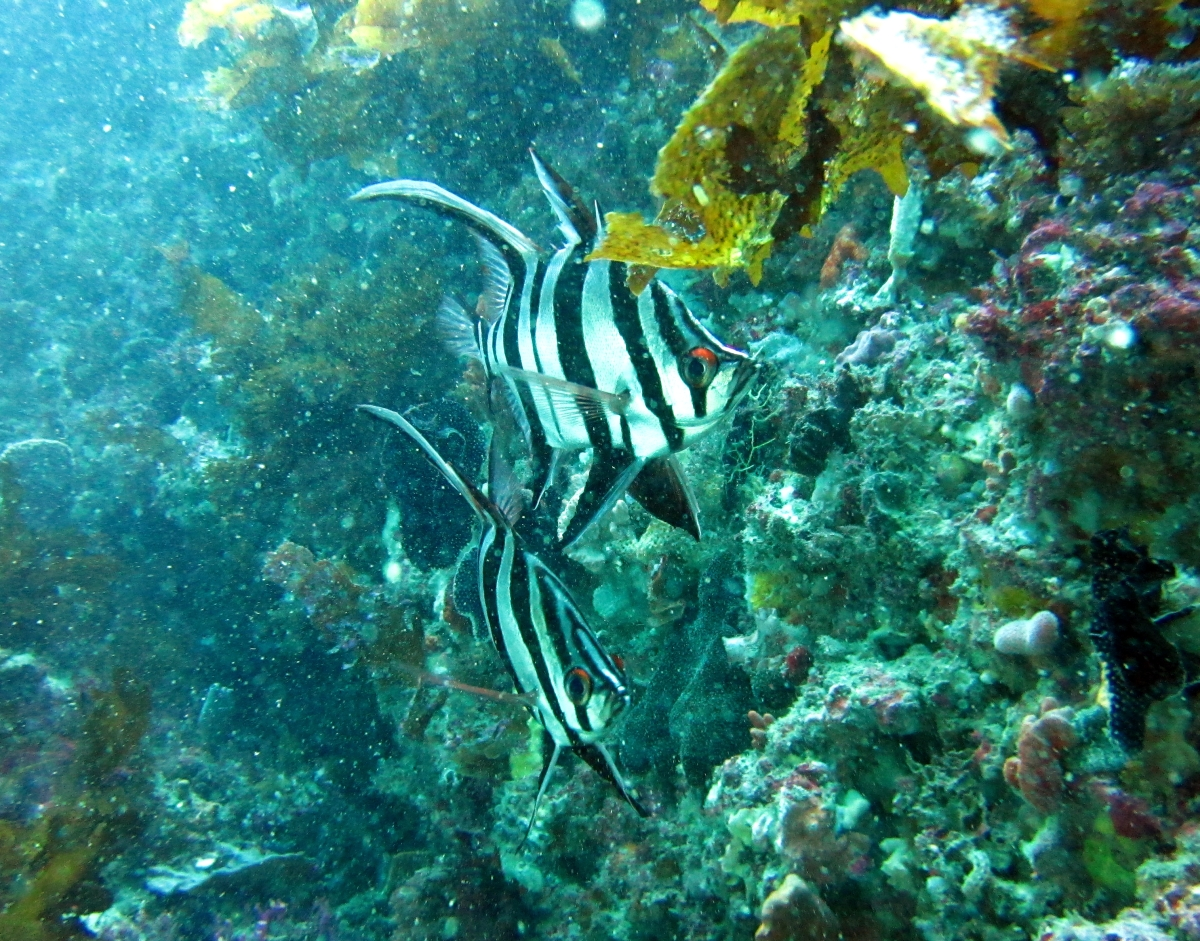 Sunday Dive: 05-05-2013 Roes Reef - OS300 Roes%20Reef%205-5-1013%20%20fish%202