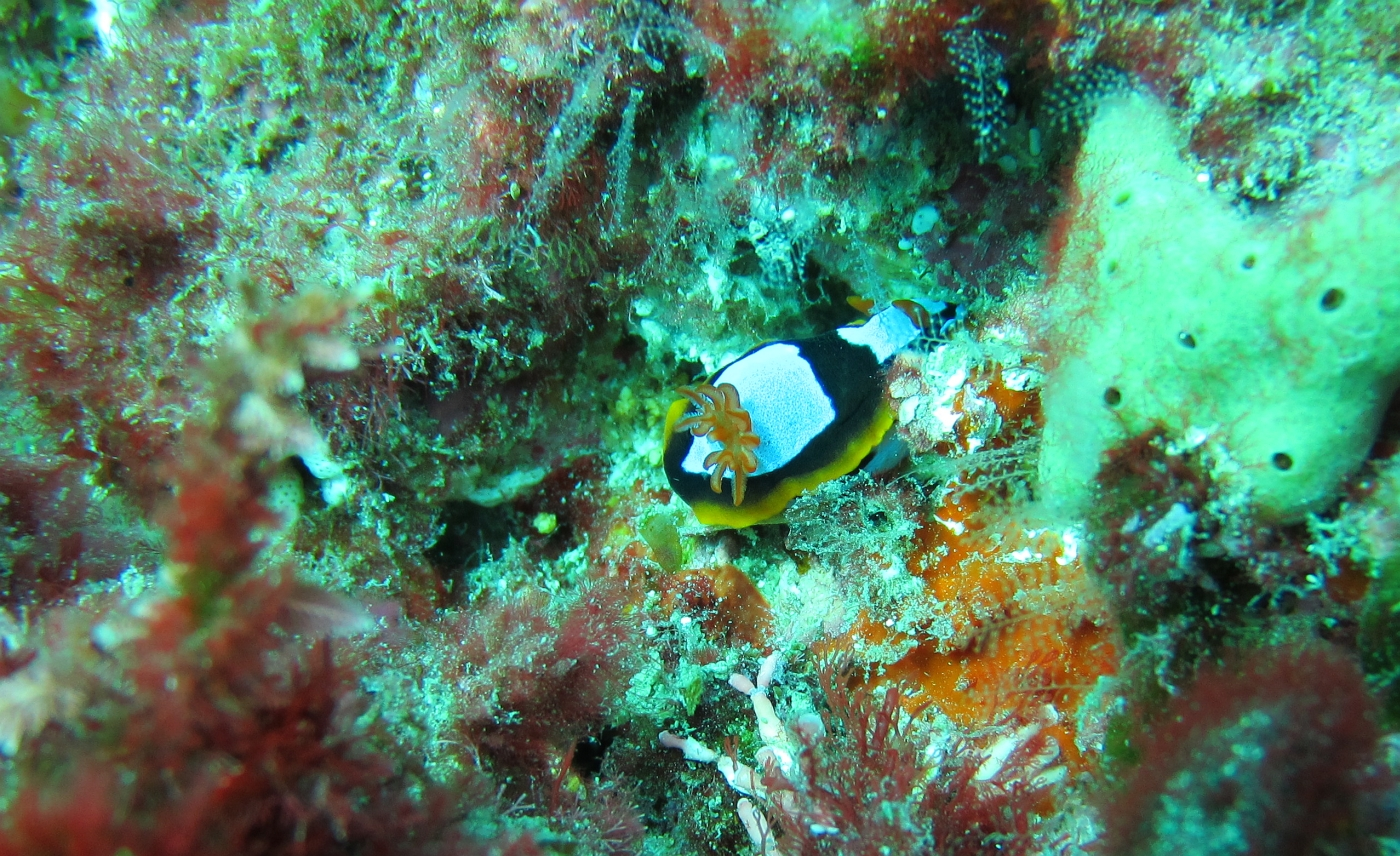 Sunday Dive: 05-05-2013 Roes Reef - OS300 Roes%20Reef%205-5-1013%20%20nudibranch%201