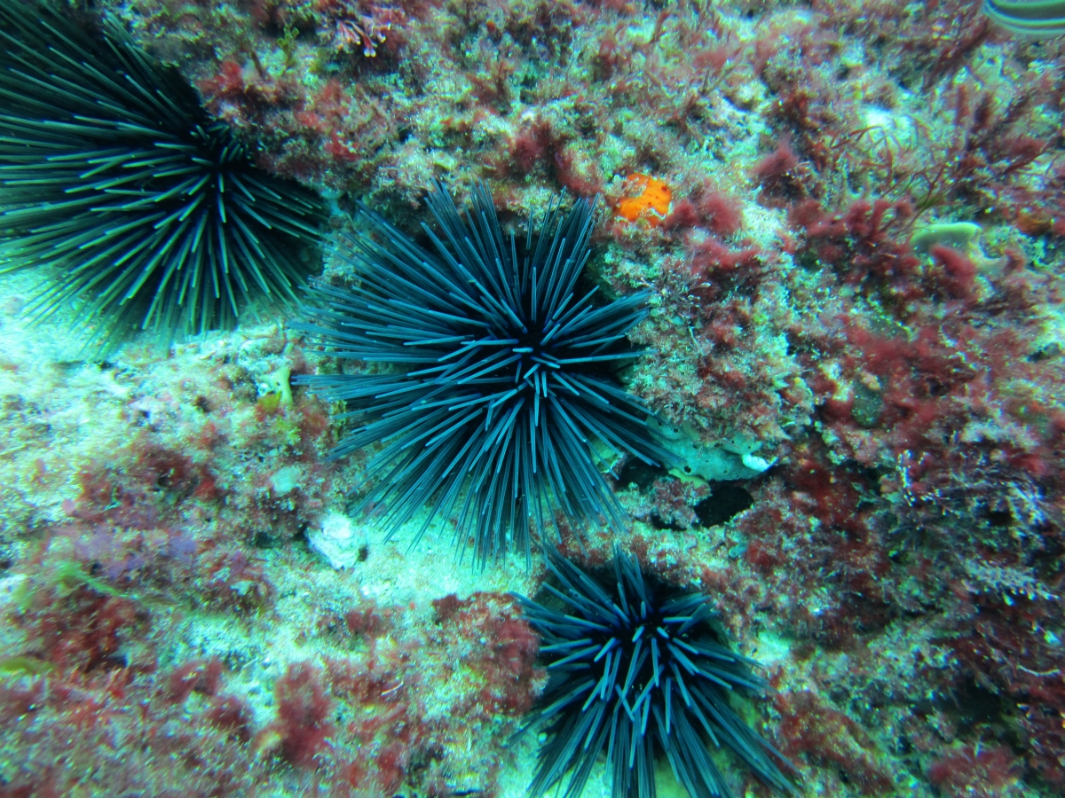 Sunday Dive: 05-05-2013 Roes Reef - OS300 Roes%20Reef%205-5-2013%20urchins%202