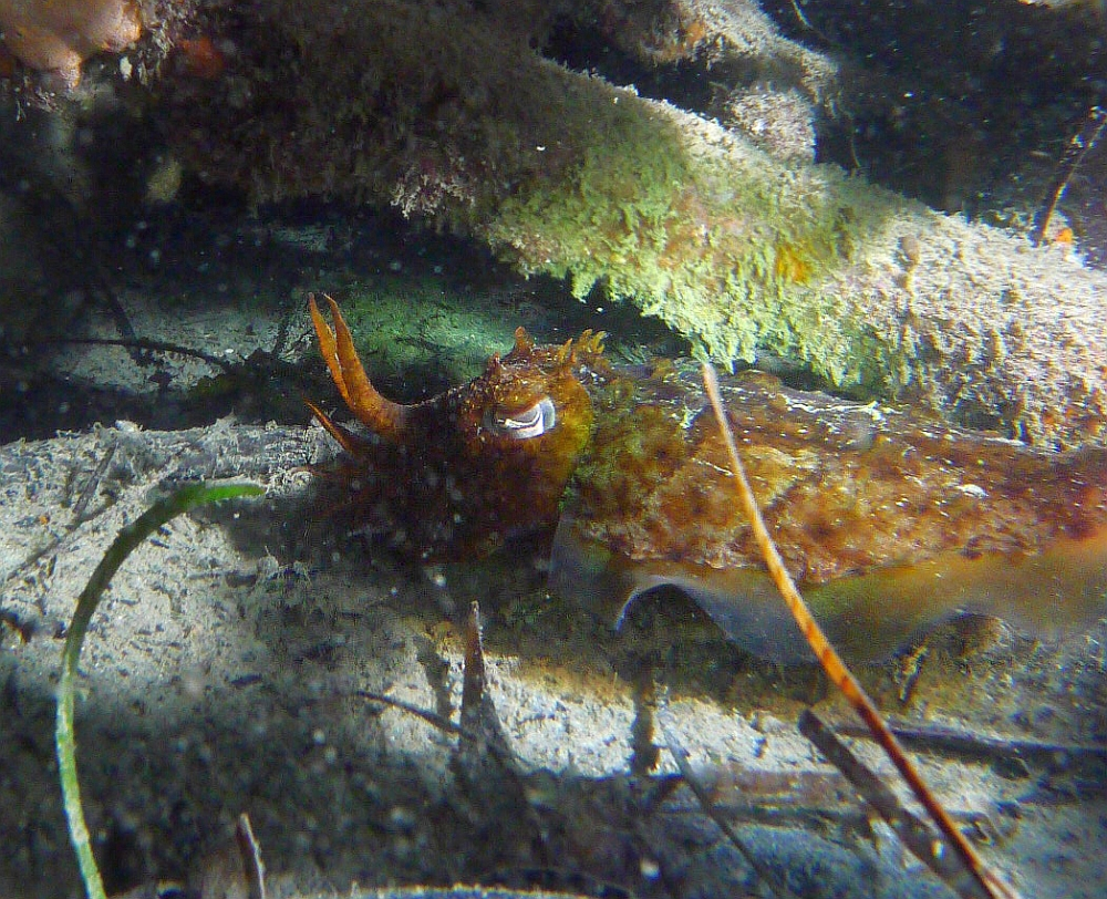 Some dive pics from a site at day and then night - Seiko SBDX001 Sue%27s%20Groyne%2001-06-2013%20cuttlefish%201
