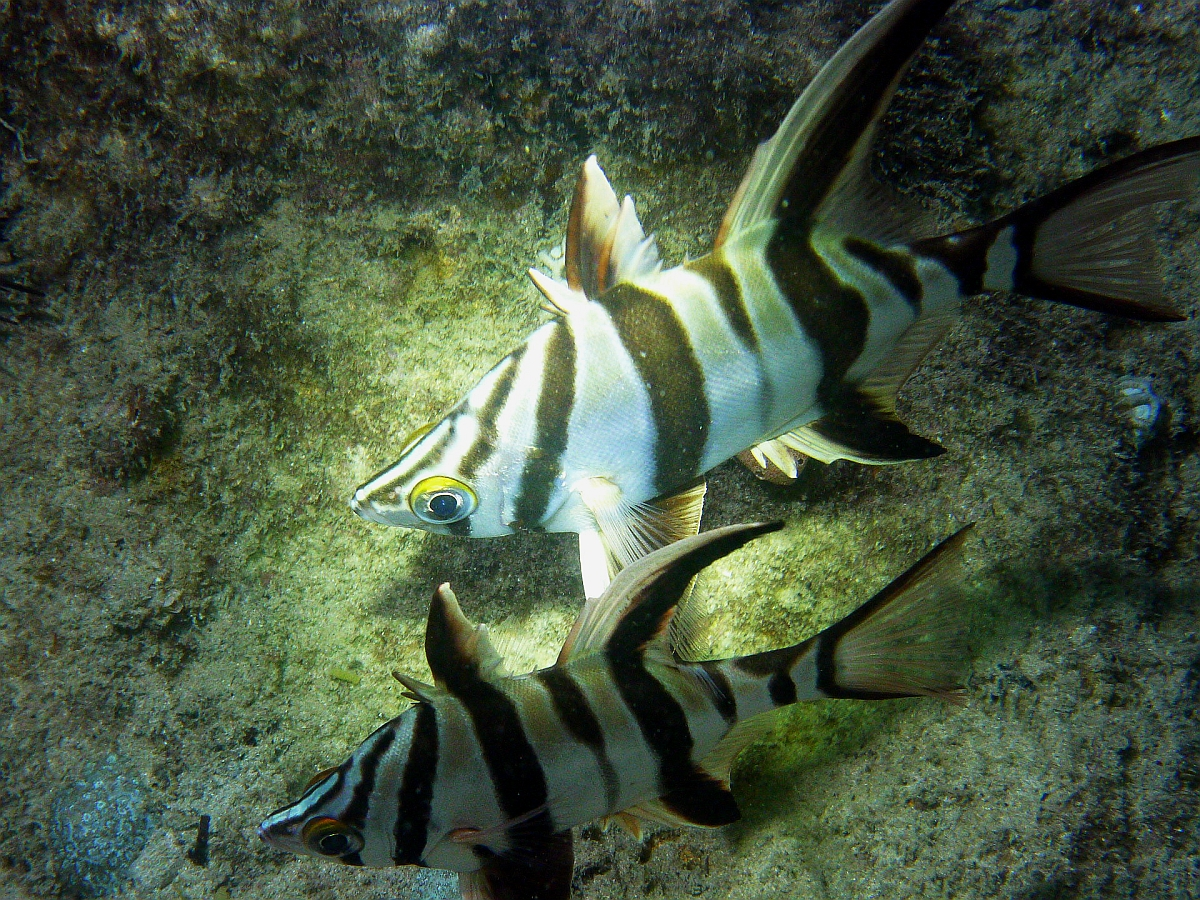 Some dive pics from a site at day and then night - Seiko SBDX001 Sue%27s%20Groyne%2001-06-2013%20fish%203
