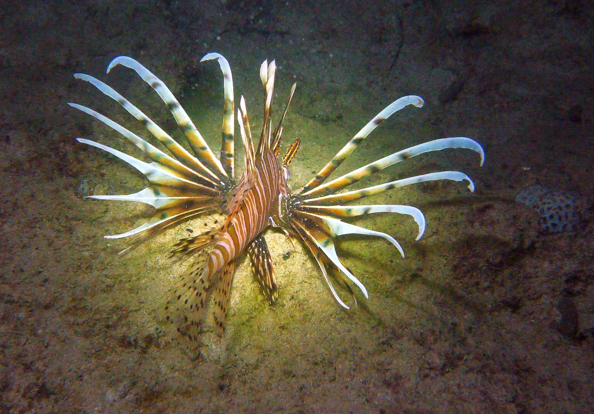 Some dive pics from a site at day and then night - Seiko SBDX001 Sue%27s%20Groyne%2001-06-2013%20lionfish%204