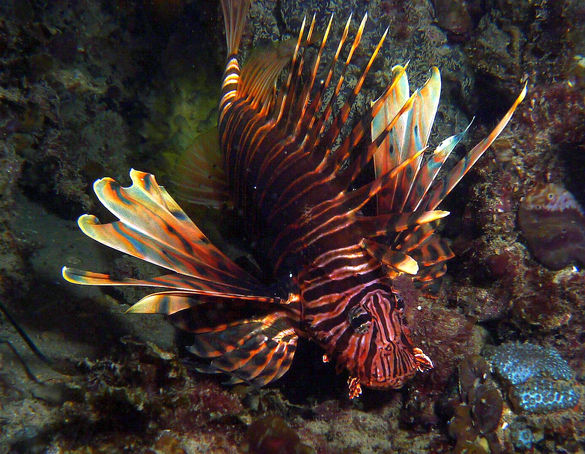 Night Dive: Woodman Point 18-06-2013 - Dievas Focal Woodman%20Point%20night%20dive%2018-06-2013%20lionfish%201